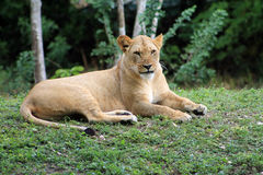 Lioness looking into camera Stock Images