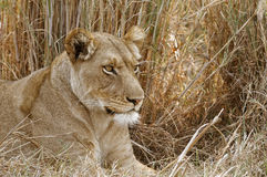 Lioness Looking For Some Dinner In The Kafue National Park In Zambia. Stock Images