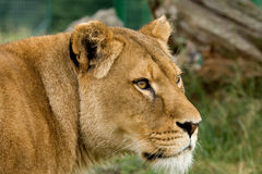 Lioness looking intently at something Stock Photography