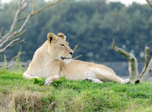 Lioness Looking Stock Image