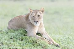 Lioness looking lying on a small hill Royalty Free Stock Photos