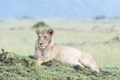 Lioness looking lying on a small hill Stock Photography