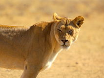 Southern african animals. Lioness looking for a meal at Kgalagadi Transfrontier Park Stock Images