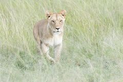 Lioness looking for prey on savannah Royalty Free Stock Photography