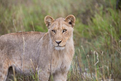 Lioness looking Royalty Free Stock Images