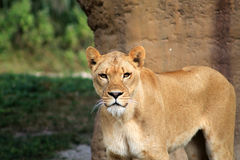 Lioness making eye contact. Lioness looking straight into the camera making eye contact at loal zoo Stock Photography
