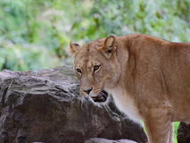 Lioness looking to the left - portrait Stock Photography