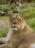 Lioness looks at the viewer. African lioness (Panthera leo krugeri) looks straight at the viewer Royalty Free Stock Photo