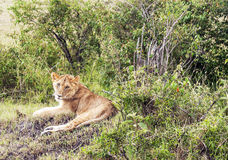Lioness lounging Royalty Free Stock Photography
