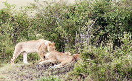 Lioness lounging Royalty Free Stock Images