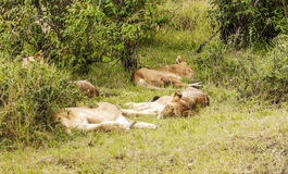 Lioness lounging Stock Image