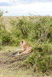 Lioness lounging Stock Images