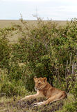 Lioness lounging Royalty Free Stock Photo