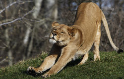 Lioness chill out royalty free stock images