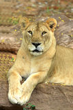 Lioness lying Royalty Free Stock Image