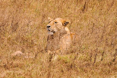 Lioness. Lying on the African savannah Stock Photo