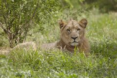 Lioness lying in African undergrowth Stock Image