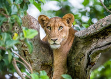 Lioness lying on a big tree. Close-up. Uganda. East Africa. An excellent illustration stock photo