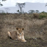 Lioness lying in bush of Serengeti, Tanzania Stock Photo