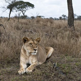 Lioness lying in bush of Serengeti, Tanzania Royalty Free Stock Photography