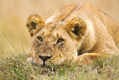 Lioness Lying down Stock Photography