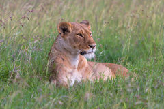 Lioness. Lying down in the Masai Mara Kenya Stock Photo