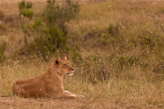 Lioness lying on grass Stock Photography