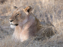 Lioness lying in grass Stock Image