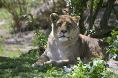 Lioness lying in grass Royalty Free Stock Images
