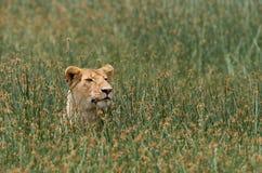 Lioness lying in the grass. Savannah. National Park. Kenya. Tanzania. Maasai Mara. Serengeti. Stock Photo