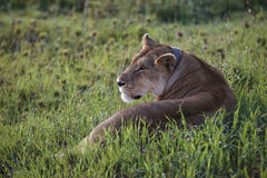 Lioness lying in the grass, Serengeti, Tanzania Royalty Free Stock Photo