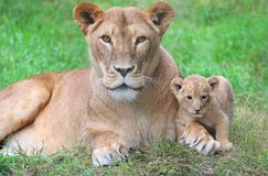 Lioness and her cub royalty free stock photography