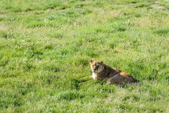 Lioness lying on the grass Royalty Free Stock Photo