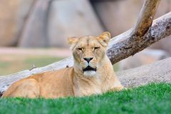 Lioness lying on green grass Royalty Free Stock Photos