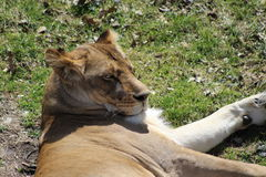 Lioness. Lying on green grass and looking over her shoulder Stock Image