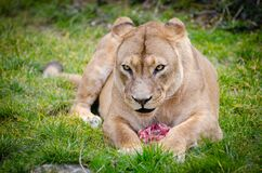 Lioness Lying on the Ground Closeup Photography Stock Images