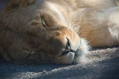 Lioness Lying on Ground Royalty Free Stock Photo