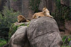 Lioness lying on large boulder dominating male lion. Resting on smaller rock, with cliff in the background stock image