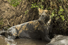 Lioness lying next to its prey in a muddy river, Serengeti Stock Photos