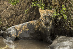 Lioness lying next to its prey in a muddy river, Serengeti Royalty Free Stock Photos