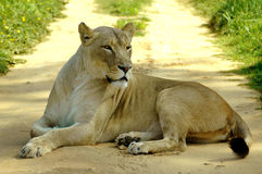 Lioness lying on road Royalty Free Stock Photography