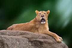 Lioness lying on rock.