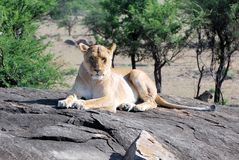 Lioness lying on a rock looking in the camera stock photo