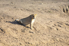 Lioness lying on sand in ambush looking alert Stock Images