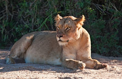 Lioness lying in shade Stock Photography