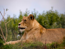 Lioness lying still Stock Image