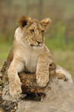 Lioness lying on tree trunk. Lioness from front view lying on the tree trunk stock photo