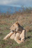 Lioness Lying and Watching. A lioness lying down in the short gras on a hill, watching the valley below Stock Photos