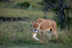 Lioness on the Masai Mara Royalty Free Stock Photo