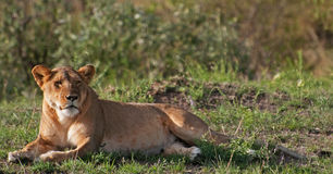 Lioness on the Masai Mara Stock Image